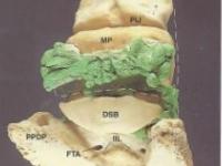 Die Zehenknochen und Gelenke