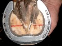 Nbs Aluminiumeisen aufgenagelt auf einen Problemhuf in der Pferdeklinik. Es handelt sich um ein etwas härteres Material, die Form des Eisens definiert einen guten Abrollpunkt.