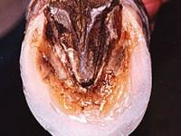 Die Sohle des Hufes wurde mit Vettec Superfast verschleißfester gemacht um einen Beschlag zu vermeiden